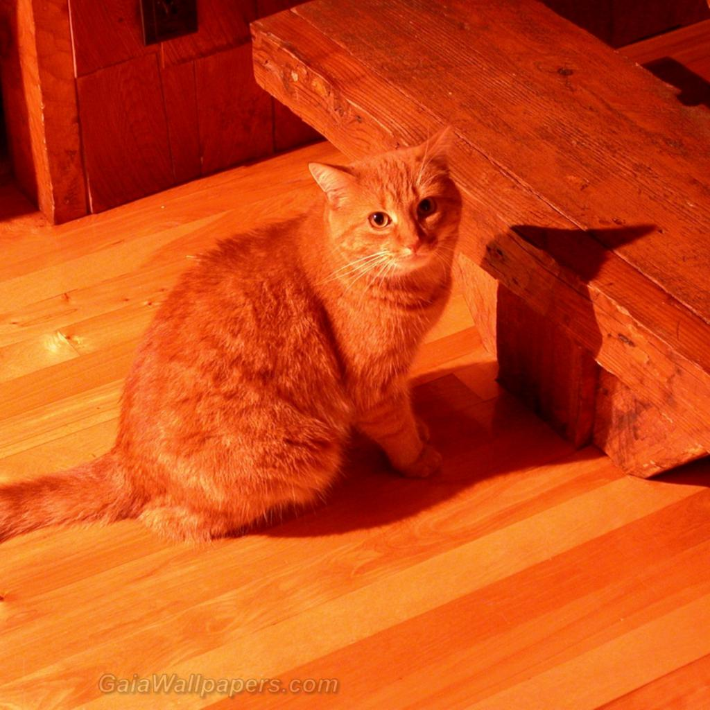 Ginger Cat In Ginger Background Wallpapers 1024x1024 Free