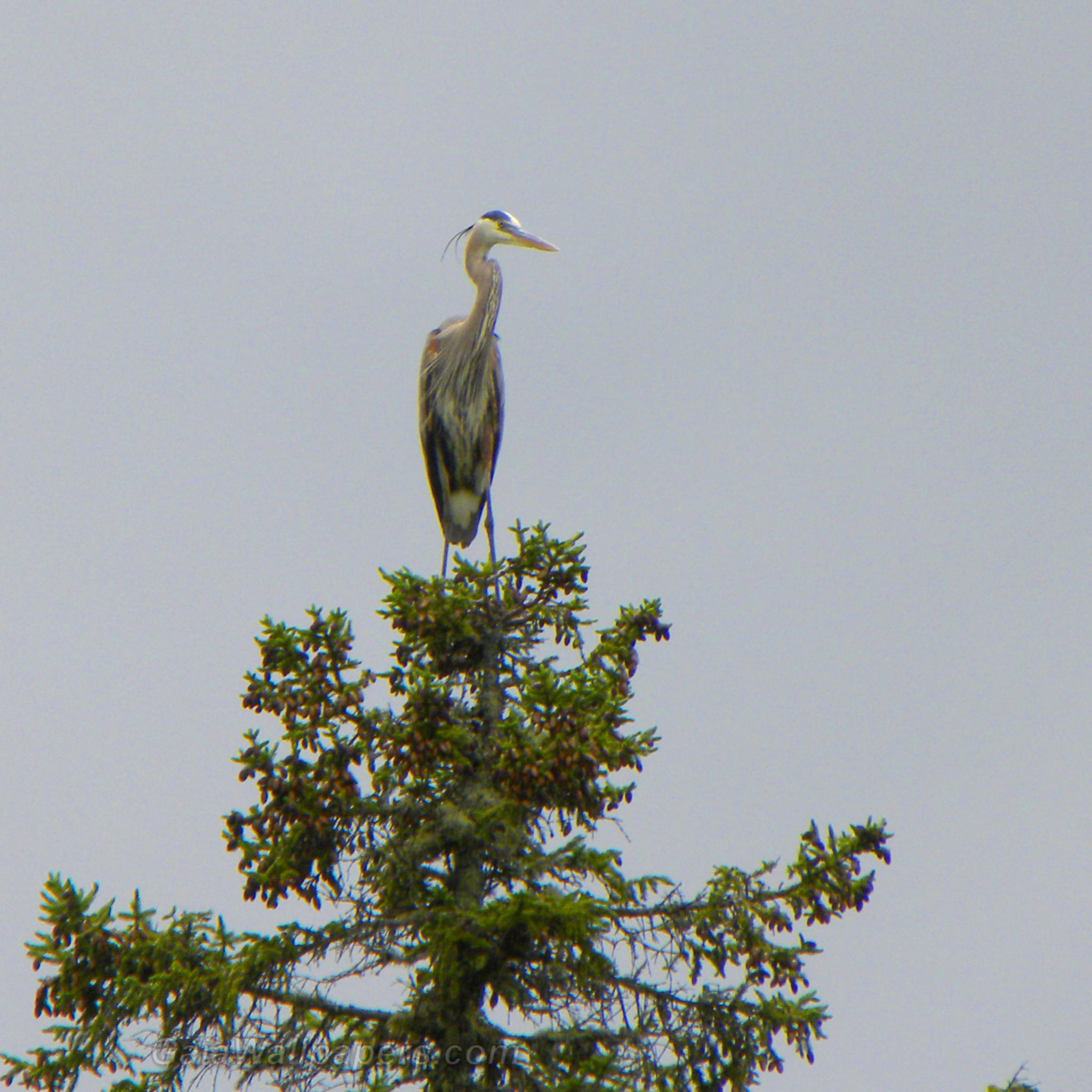 Great Blue Heron on the top of a tree - Free desktop wallpapers