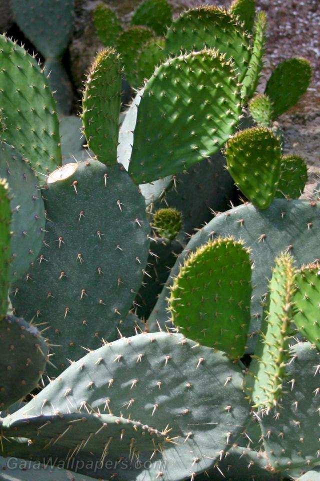 Croissance de cactus - Fonds d'écran gratuits