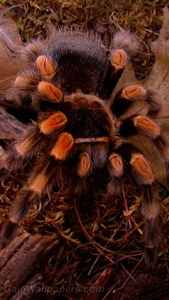 Tarantula - Free desktop wallpapers