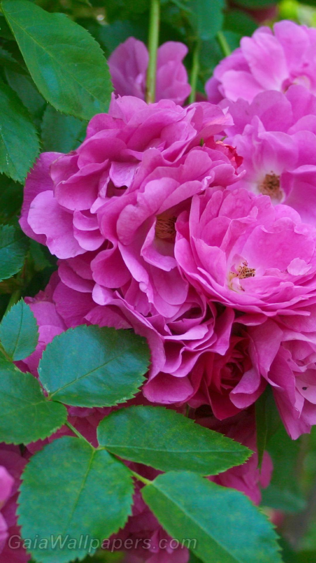 Roses so pink - Free desktop wallpapers