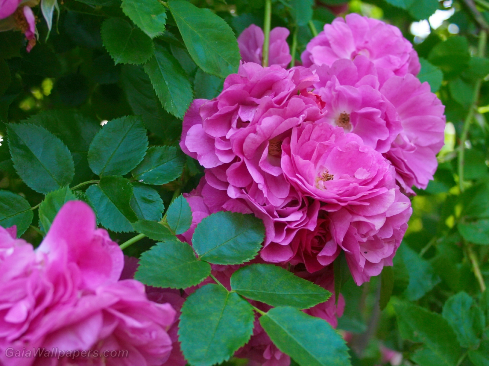 Roses so pink - Free desktop wallpapers
