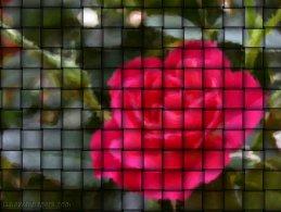 Rose in a weave desktop wallpapers