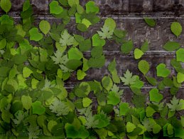 Green leaves on the stone wall desktop wallpapers
