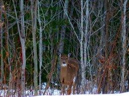 Deer hiding the branches desktop wallpapers