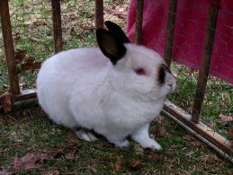 White albinos rabbit desktop wallpapers