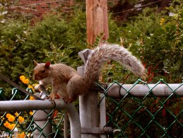 Squirrel walking on the fence desktop wallpapers