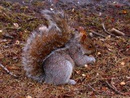 Squirrel eating peanut desktop wallpapers