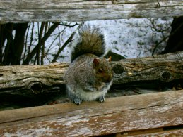Squirrel standing on a old wood fence desktop wallpapers