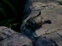 Red-eared slider turtle lying under the sun desktop wallpapers