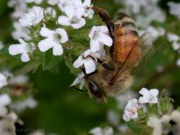 Bee gathering nectar desktop wallpapers