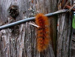 Hairy caterpillar climbing on a wood pole desktop wallpapers