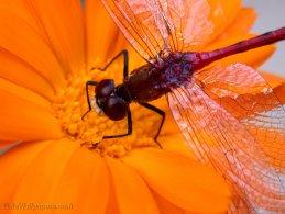 Dragonfly waiting on an orange flower desktop wallpapers
