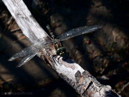 Dragonfly waiting on a branch desktop wallpapers