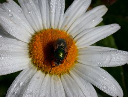 Fly on a daisy desktop wallpapers