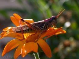 Grasshopper ready to jump desktop wallpapers