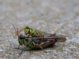 Grasshoppers copulating desktop wallpapers