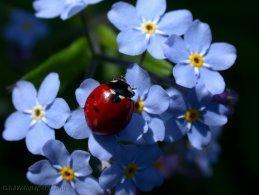 Ladybird on blue miosotis desktop wallpapers