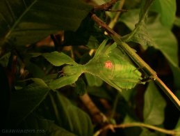 Leaf insect in branches desktop wallpapers