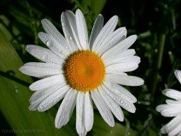 daisy in the morning dew desktop wallpapers