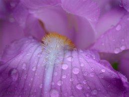 Iris in the morning dew desktop wallpapers