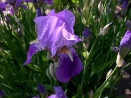 Iris fonds d'écran