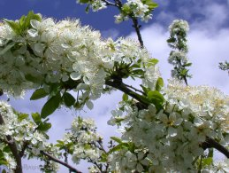 Plum tree in flowers desktop wallpapers