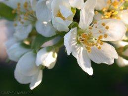 Fleurs de prunier fonds d'écran