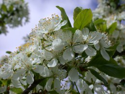 Plum tree flowers desktop wallpapers