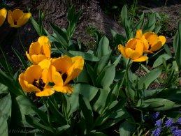 Yellow tulips desktop wallpapers