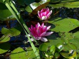 Water lily flowers desktop wallpapers