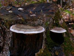 Mushrooms growing on a cut tree desktop wallpapers