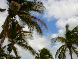 Coconut palm  trees desktop wallpapers