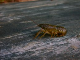 Crayfish on the dock desktop wallpapers