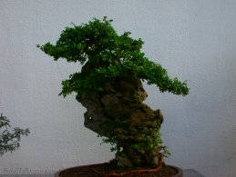 Bonsai desktop wallpapers