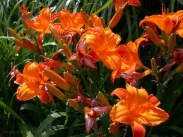 Dying and opening Daylilies desktop wallpapers