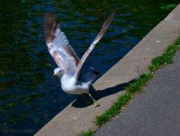 Ring-billed gull taking off desktop wallpapers