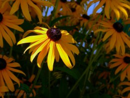 Rudbeckia desktop wallpapers