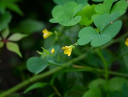 Young yellow clover flowers desktop wallpapers