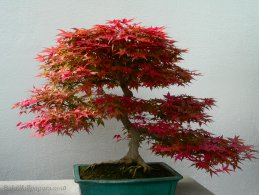Autumn bonsai desktop wallpapers