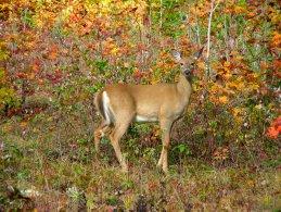 White-tailed deer female looking at us desktop wallpapers