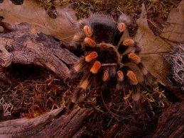 Tarantula desktop wallpapers