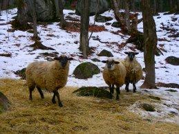 Sheeps in winter desktop wallpapers