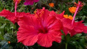 Red Hibiscus desktop wallpapers