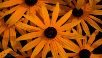 Rudbeckias desktop wallpapers
