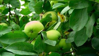 Young apples desktop wallpapers