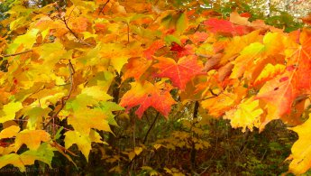 Maple leaves in autumn desktop wallpapers