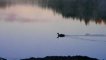 Duck swimming on a calm lake desktop wallpapers