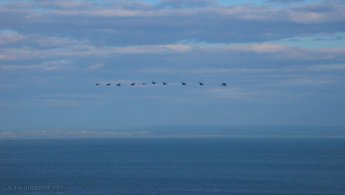 Geese flight desktop wallpapers