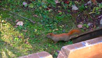 American Red Squirrel desktop wallpapers
